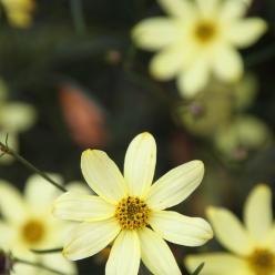Coreopsis verticillata 'Moonbeam' - Meisjesogen