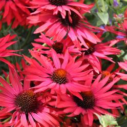 Echinacea 'Hot Summer' - Zonnehoed