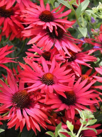 Echinacea 'Hot Summer' - Zonnehoed