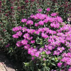 Monarda 'Petite Delight' - Bergamotplant