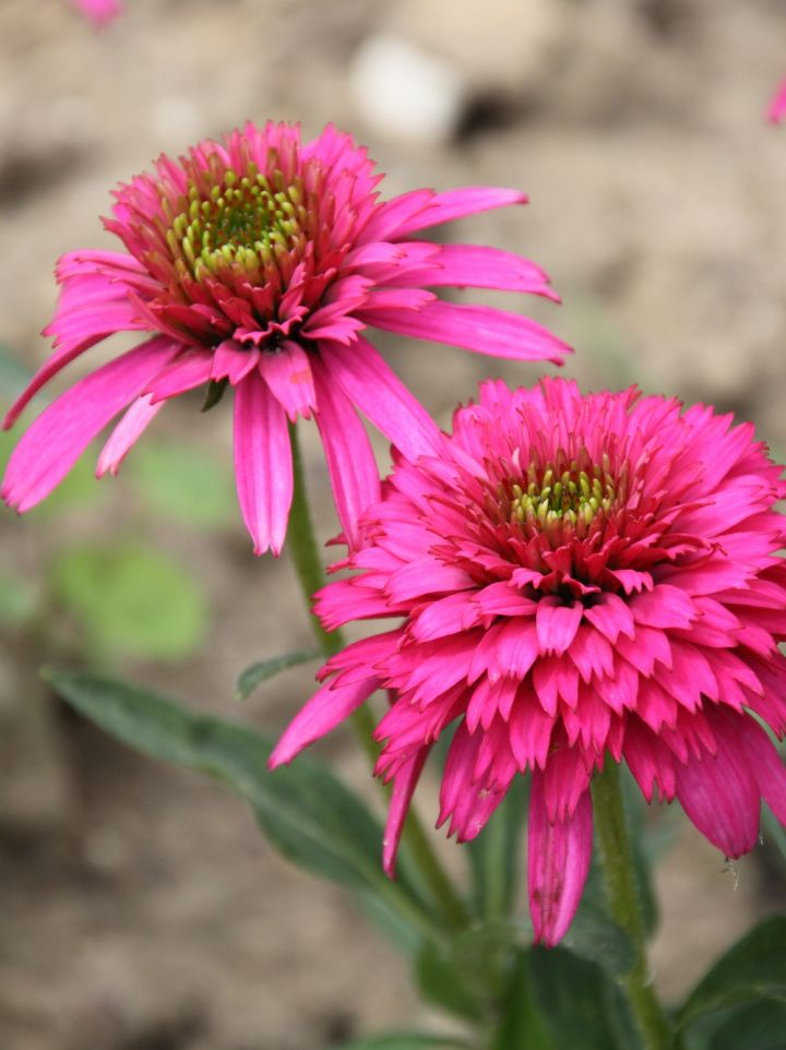 Echinacea 'Southern Belle' - Zonnehoed