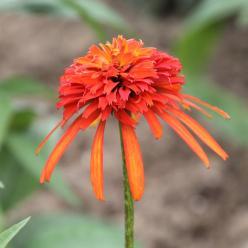 Echinacea 'Summer Salsa' - Zonnehoed