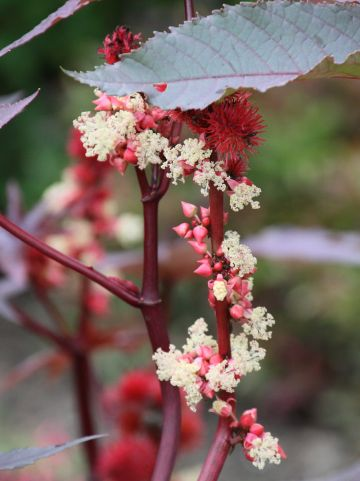 Ricinus communis - Wonderboom