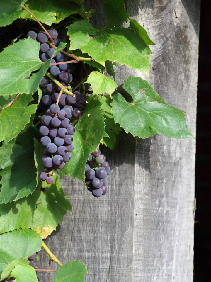 Vitis vinifera 'Boskoop Glory' - Wijnstok, druif