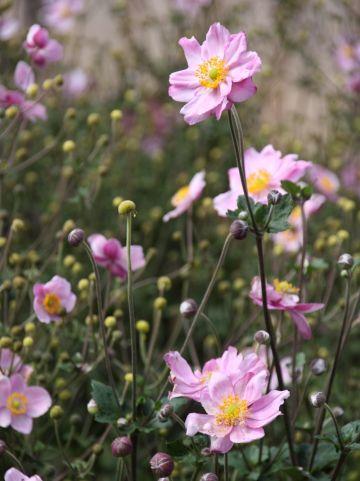 Anemone hybrida 'Königin Charlotte' - Herfstanemoon