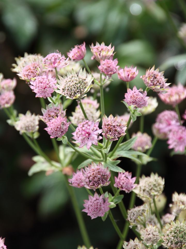 Astrantia major 'Pink Pride' - Zeeuws knopje