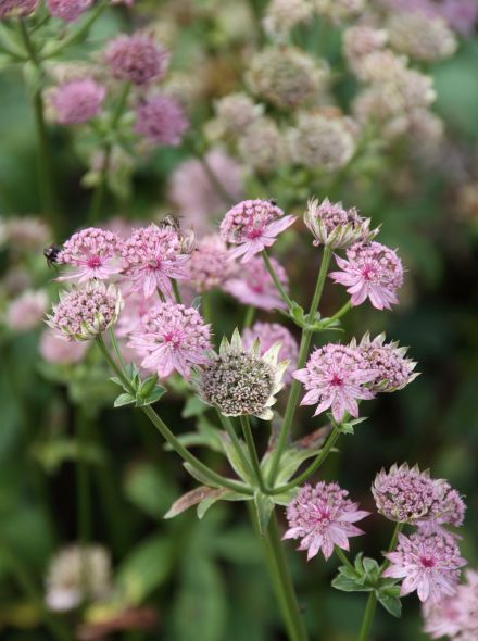 Astrantia major 'Pink Pride' (Zeeuws knoopje, Groot sterrenscherm)