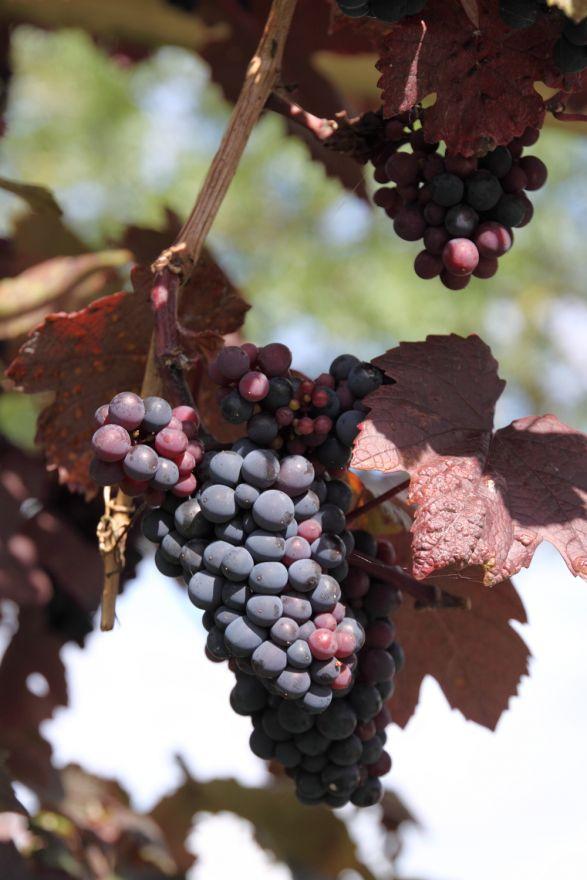 Vitis vinifera 'Purpurea' (Wijnstok, Blauwe druif, Druivelaar)