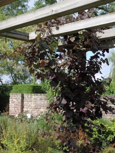 Vitis vinifera 'Purpurea' - Wijnstok, druif