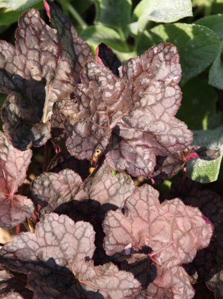Heuchera 'Cascade Dawn' (Purperklokje)