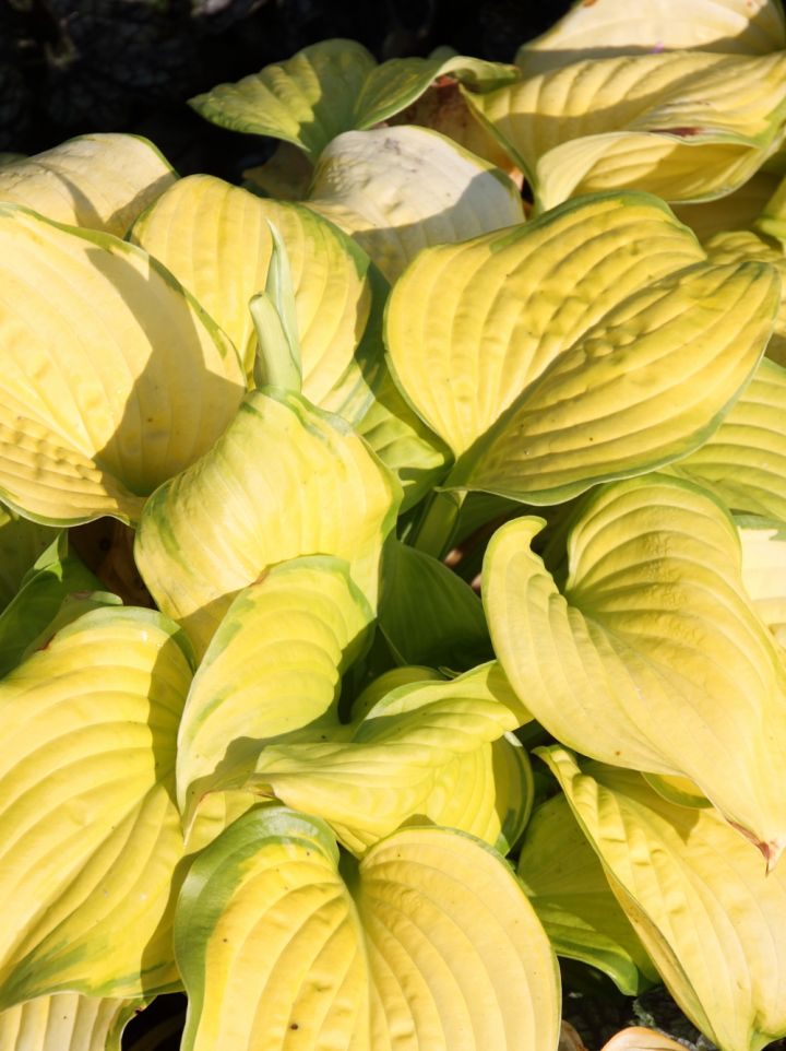 Hosta 'Stained Glass' - Hartlelie