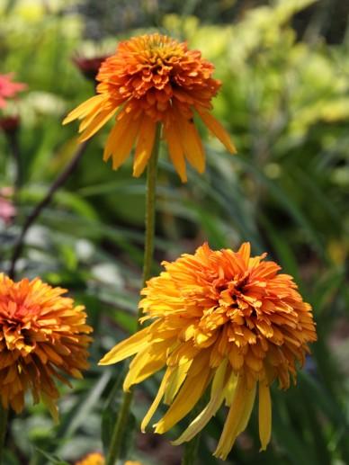 Echinacea 'Marmelade' - Zonnehoed