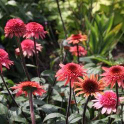 Echinacea 'Raspberry Truffle' - Zonnehoed