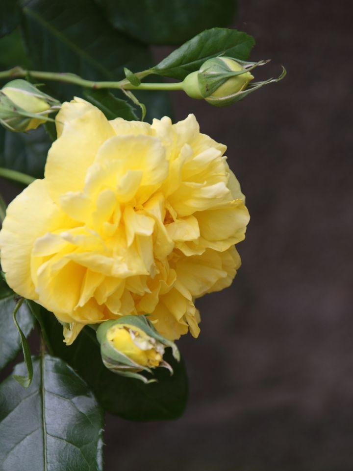 Rosa 'Happy Child' - Thee-hybrideroos