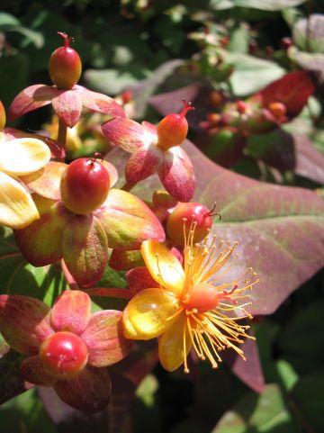 Hypericum androsaemum 'Albury Purple' - Hertshooi