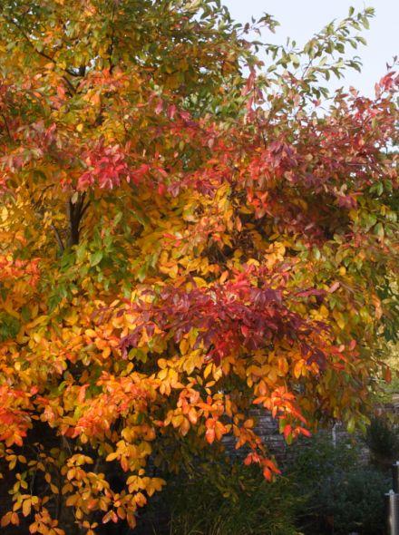 Nyssa sylvatica (Tupeloboom, Zwarte tupeloboom)