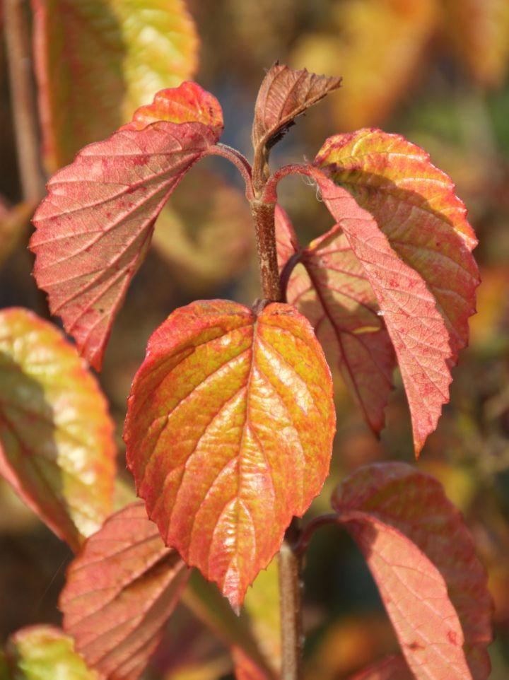 Viburnum rafinesquianum - Sneeuwbal