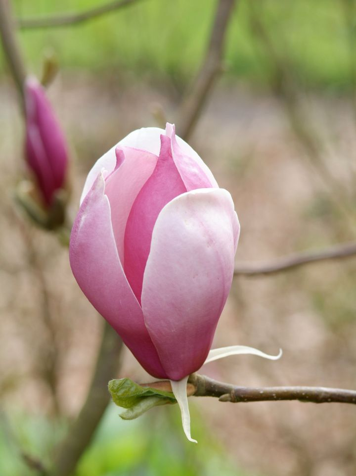 Magnolia soulangeana 'Purple Dream' - Valse tulpenboom, beverboom