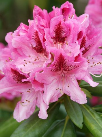 Rhododendron 'Furnival's Daughter' - Rododendron