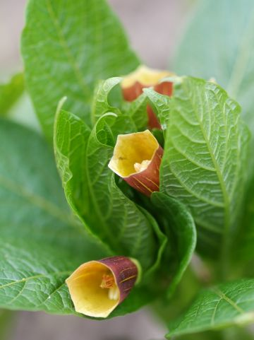 Scopolia carniolica - Klokbilzenkruid