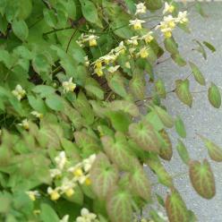Epimedium x perralchicum 'Frohnleiten' - Elfenbloem
