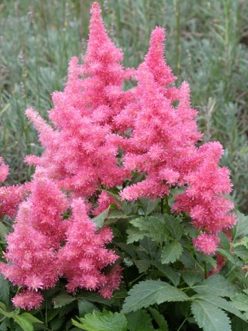Astilbe 'Drum and Bass' - Pluimspirea, prachtspirea