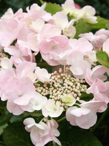 Hydrangea macrophylla 'Hobella' - Toverbal-hortensia