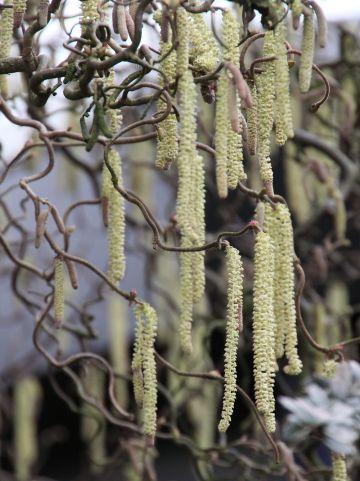 Corylus avellana 'Contorta' - Kronkelhazelaar