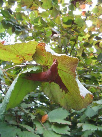 Corylus maxima 'Purpurea' - Roodbladige hazelnoot, lambertsnoot