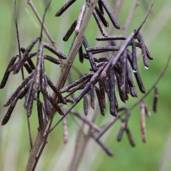 Indigofera heterantha - Indigostruik