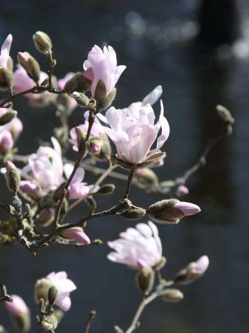 Magnolia stellata 'Rosea' - Stermagnolia