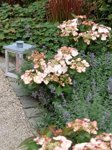 Hydrangea Macrophylla Love You Kiss Tuinhortensia De Tuinen