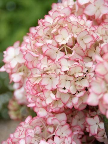 Hydrangea macrophylla 'Mirai' - Tuinhortensia