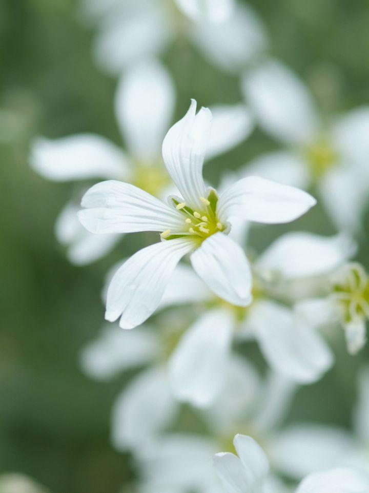Cerastium biebersteinii - Hoornbloem