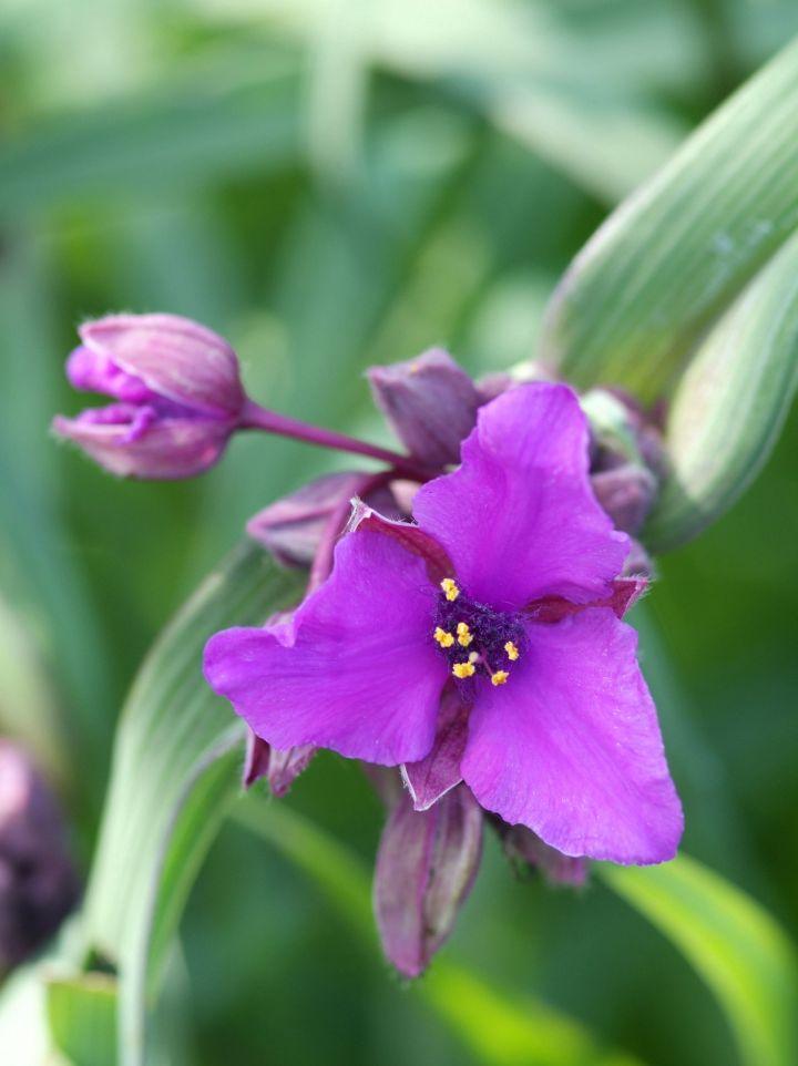 Tradescantia 'Concord Grape' - Eéndagsbloem, vaderplant