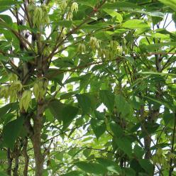 Acer negundo - Vederesdoorn, Californische esdoorn