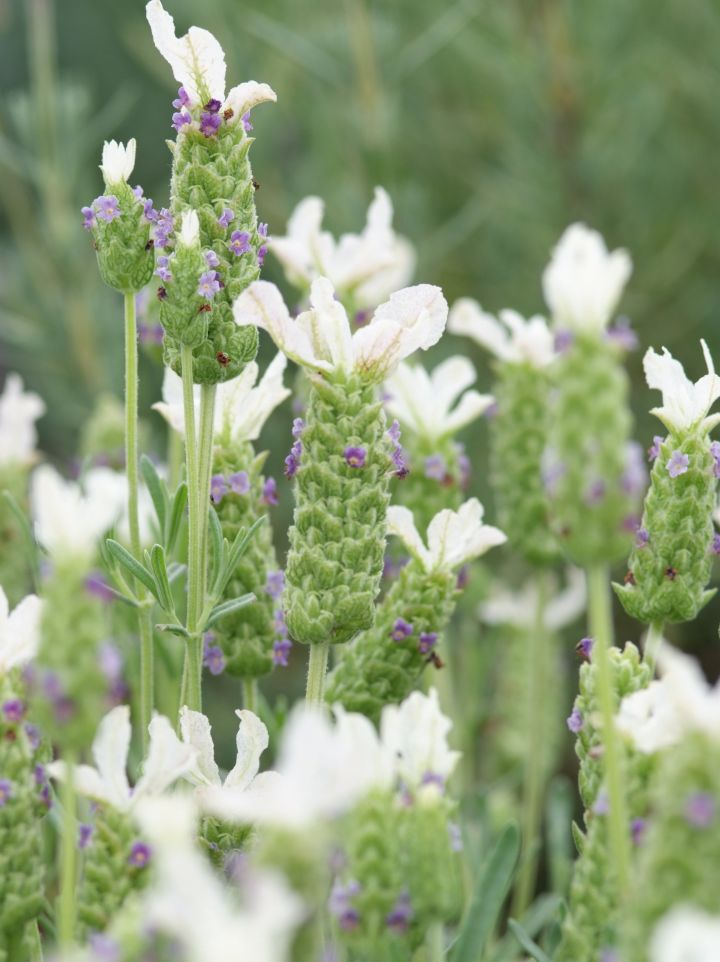Lavandula stoechas 'Little Bee Blue White' - Kuiflavendel