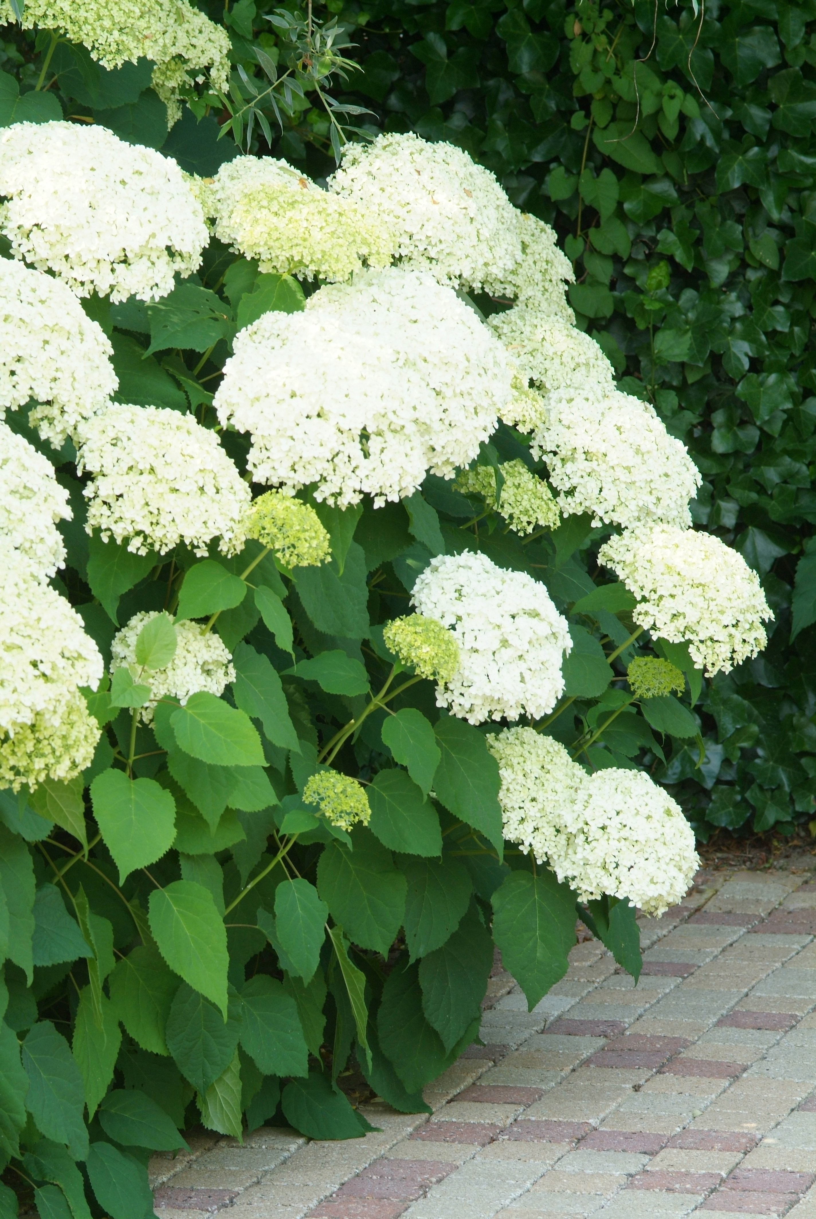 hydrangea arborescens 39 annabelle 39 hortensia de tuinen van appeltern. Black Bedroom Furniture Sets. Home Design Ideas