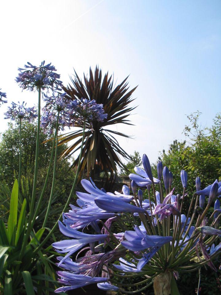 Agapanthus 'Septemberhemel' - Afrikaanse lelie
