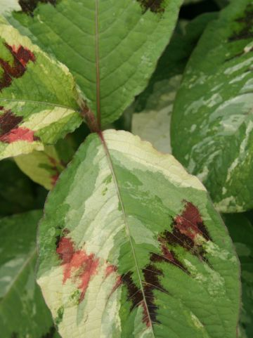 Persicaria filiformis 'Painter's Palette' - Duizendknoop