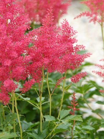 Astilbe 'Red Sentinel' - Pluimspirea, prachtspirea
