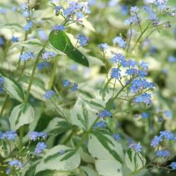 Brunnera macrophylla 'Dawson's White' - Kaukasisch vergeet-mij-nietje