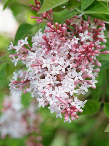 Syringa microphylla 'Superba'  - (Dwerg)sering