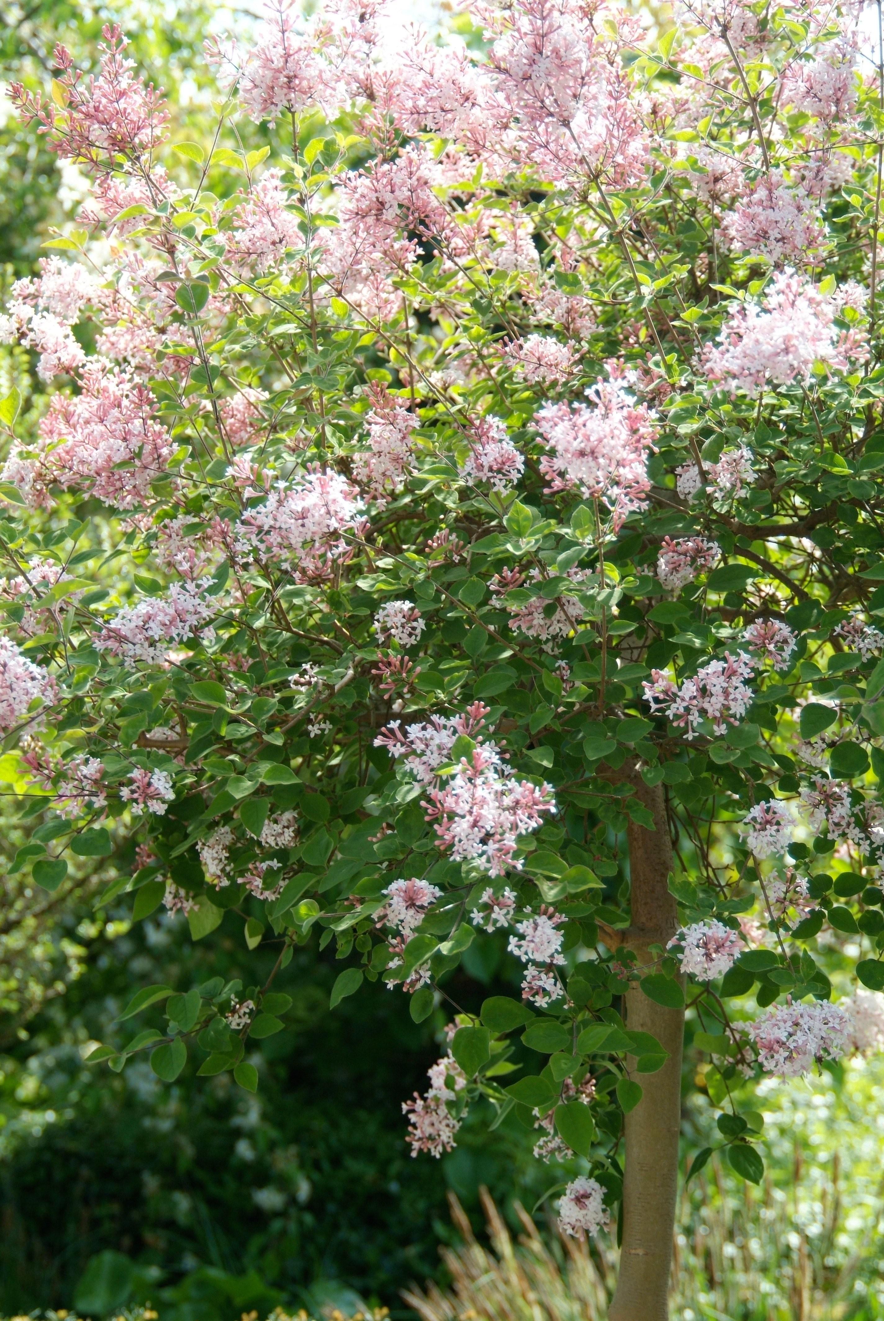syringa microphylla 39 superba 39 dwerg sering de tuinen van appeltern. Black Bedroom Furniture Sets. Home Design Ideas