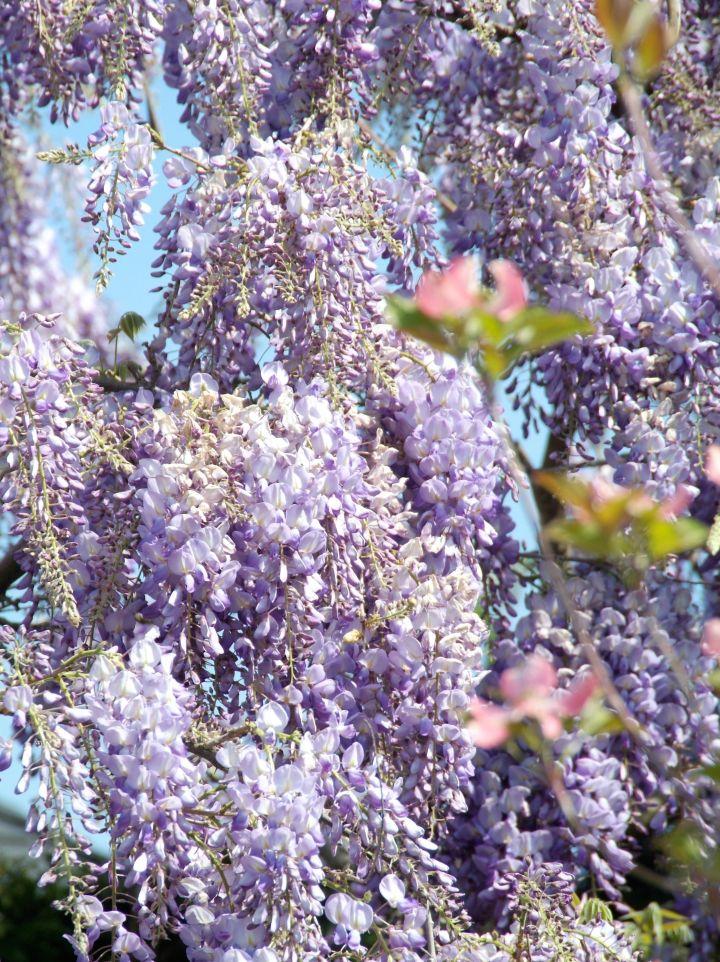 Wisteria sinensis 'Issai Perfect' - Blauwe regen