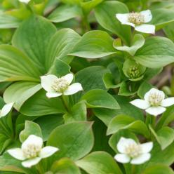 Cornus canadensis - Kornoelje