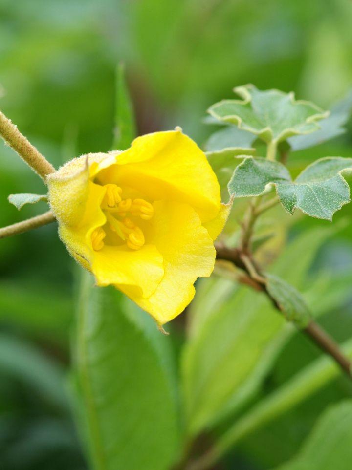 Fremontodendron californicum - Flanelstruik