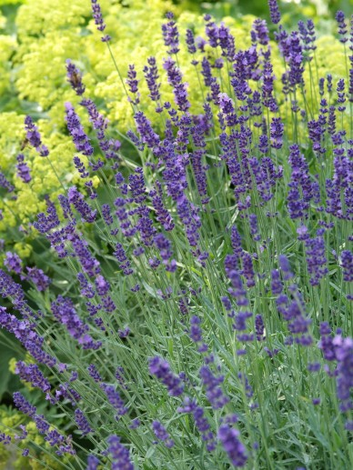 lavandula angustifolia 39 munstead 39 lavendel de tuinen. Black Bedroom Furniture Sets. Home Design Ideas
