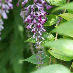 Buddleja lindleyana - Vlinderstruik