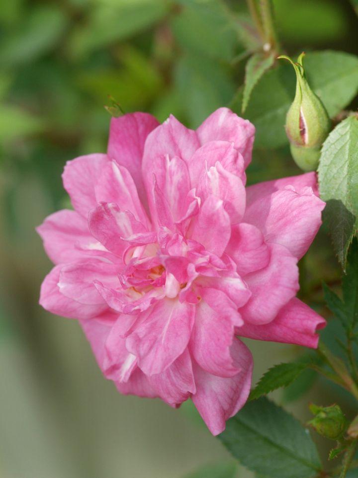 Rosa 'Pompon de Paris' - Klimroos